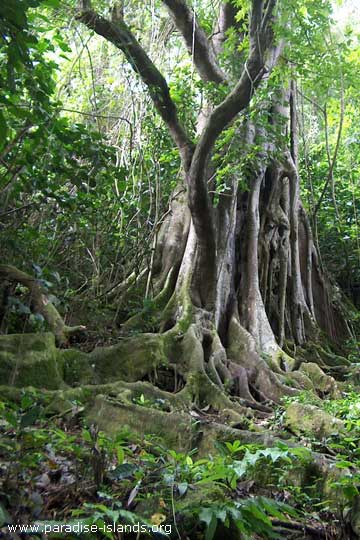Rain Forest at St.Knitts island